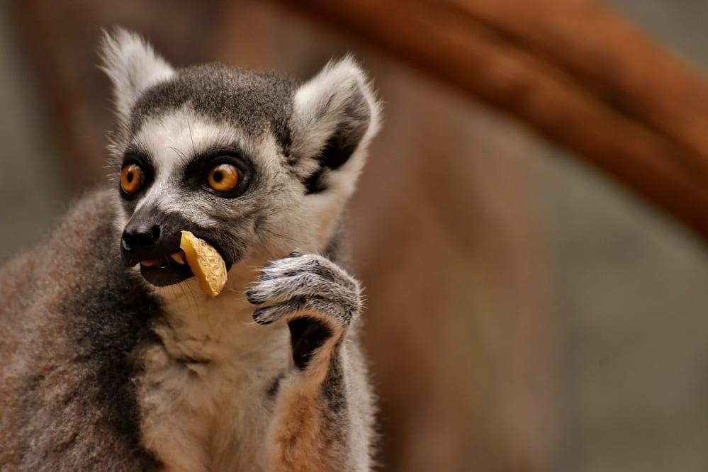 lemure che mangia