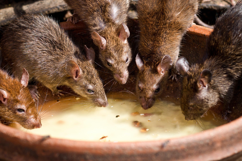 ratti roditori bevono latte