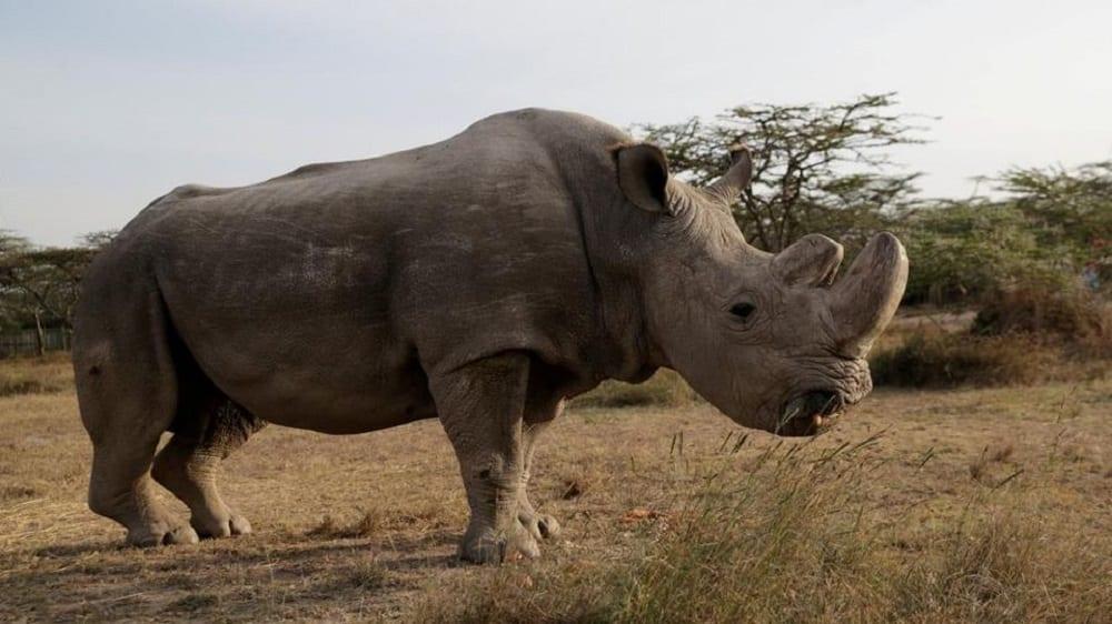 Rinoceronte bianco settentrionale destinato all'estinzione? No, lo salveranno gli italiani