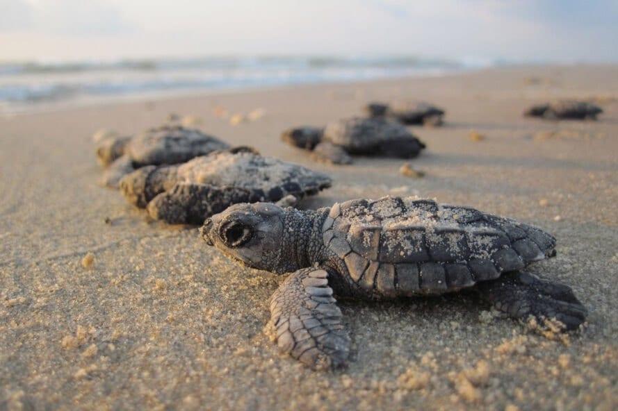 Brasile: il lockdown fa nascere più di 100 tartarughe in via d'estinzione