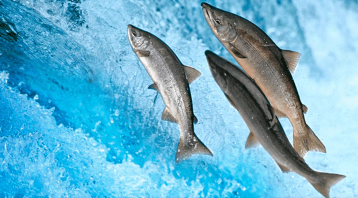 Salmoni di Chinook: percepiscono il campo magnetico e forse ora sappiamo come