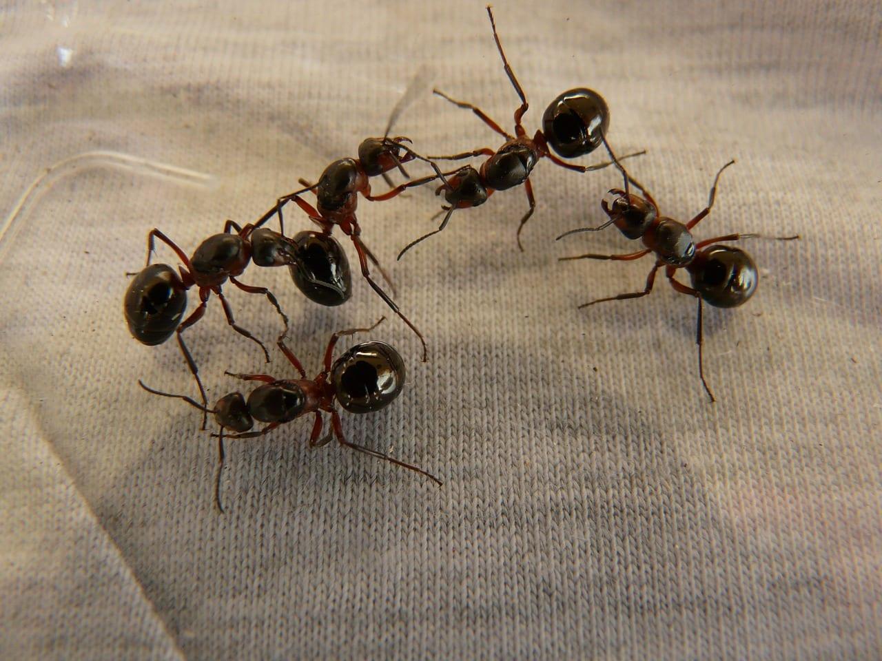 Le formiche conservano ricordi a lungo e breve termine su diversi lati del loro cervello