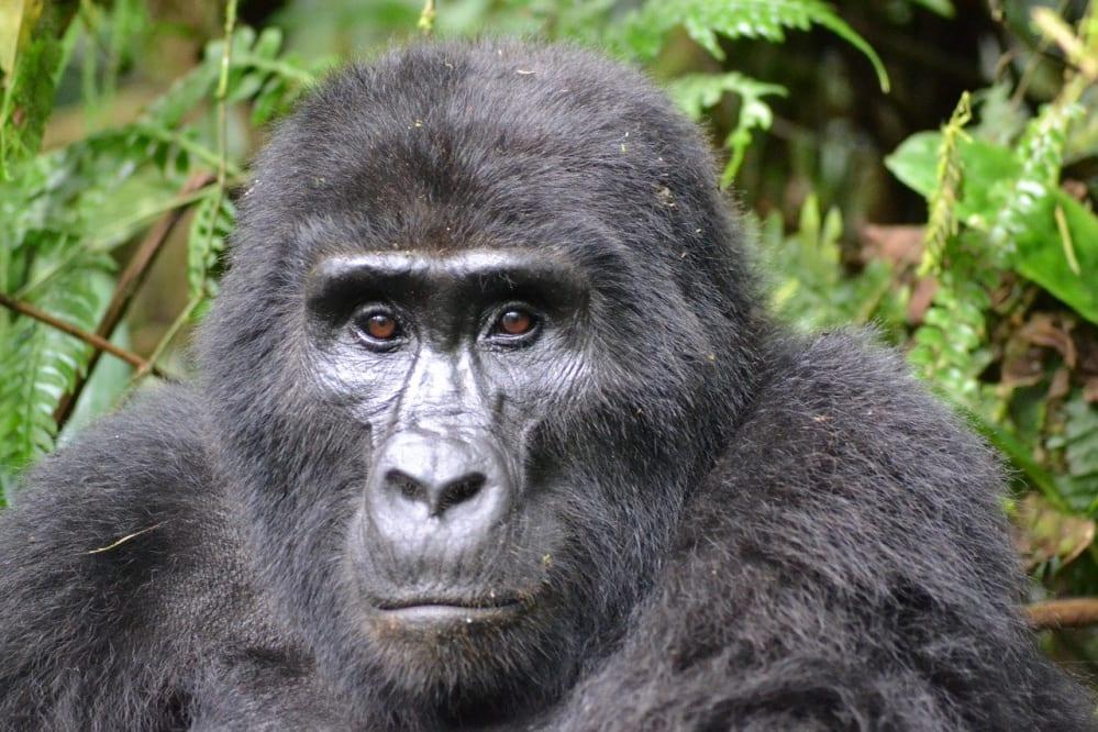I gorilla del Virunga