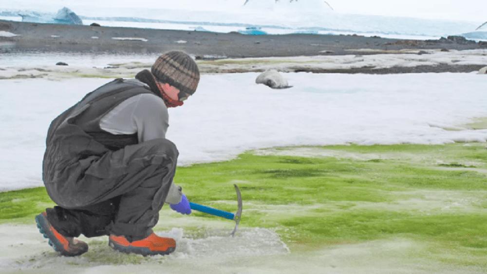 Antartide: la neve sta diventando verde, colpa dei cambiamenti climatici