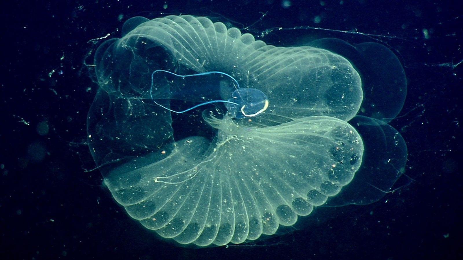 Cambiamenti climatici, un larvaceo marino è la soluzione?