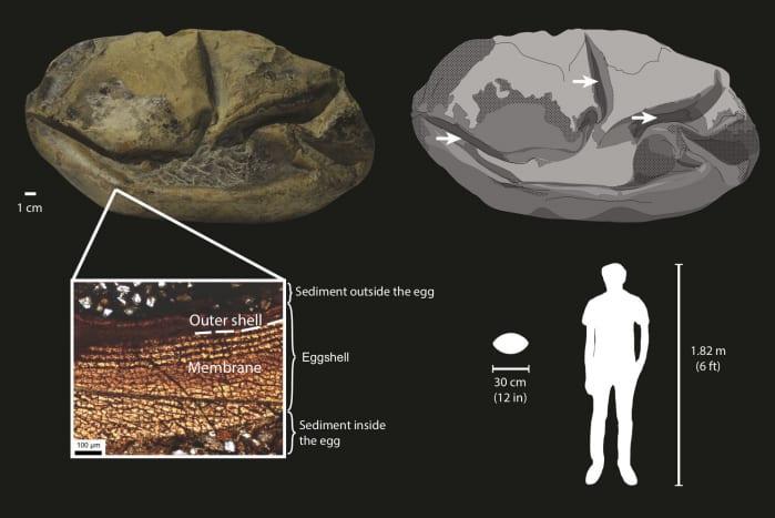 uovo fossile