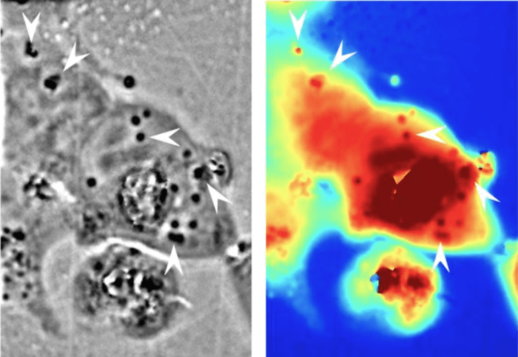 Verso cellule che possono diventare trasparenti modulando il modo in cui riflettono la luce