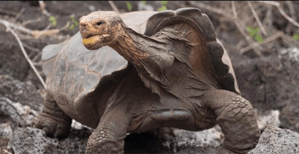 Diego: la tartaruga gigante delle Galapagos che ha salvato la sua specie è tornata a casa