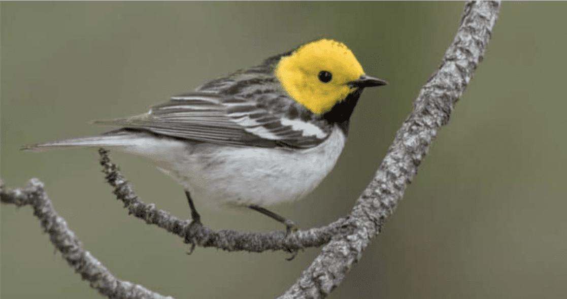 Incendi: modificano il canto degli uccelli
