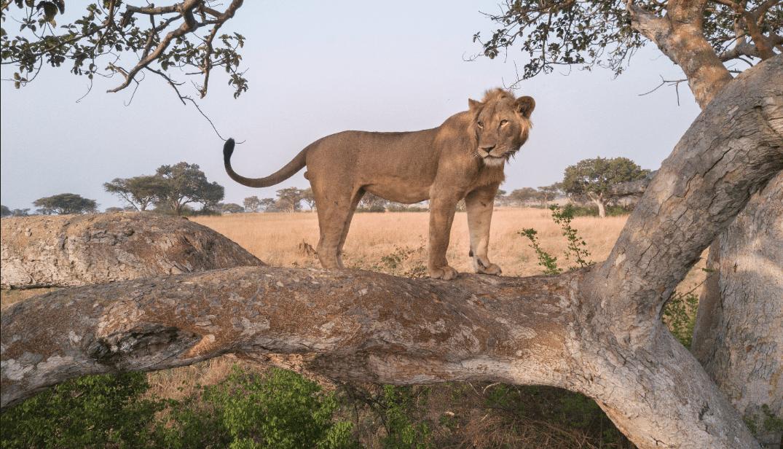 Leoni africani: un metodo analitico per osservare l'andamento delle popolazioni