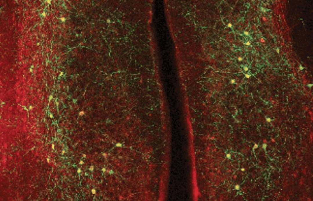 Adattamento comportamentale: fondamentale la sincronia tra i neuroni nei diversi emisferi cerebrali