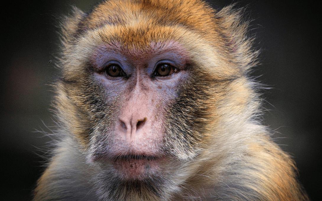 Attacco dei macachi: gli umani cercano di riprendersi la città thailandese invasa dalle scimmie