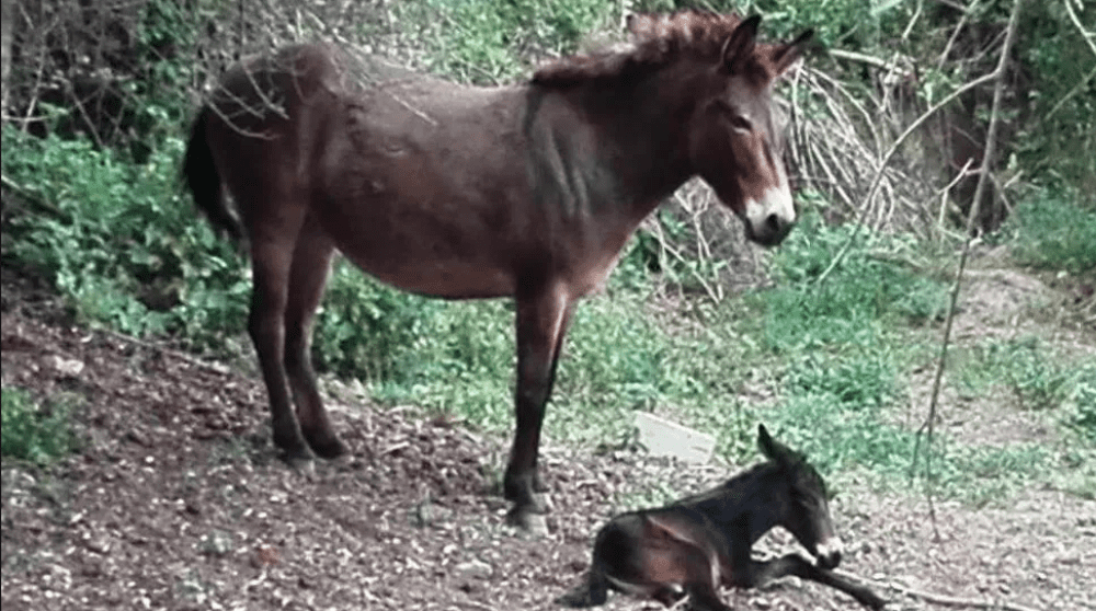 """Una mula partorisce un puledro: """"evento rarissimo"""" dicono gli esperti"""