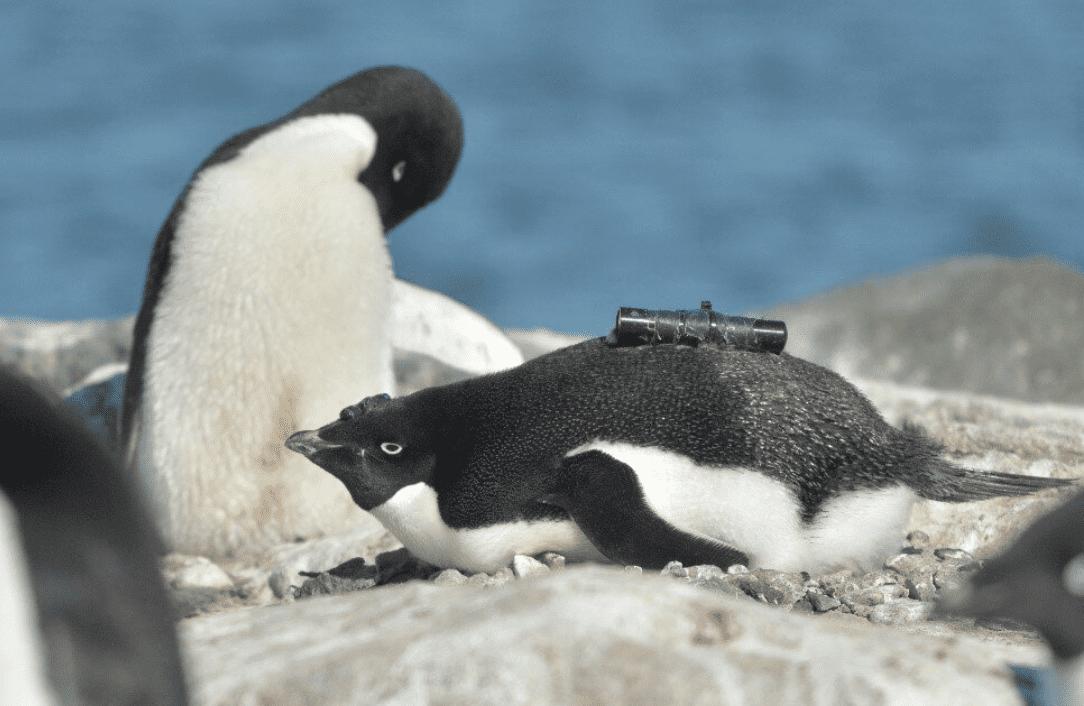 Pinguini antartici: sembrano felici del fatto che ci sia meno ghiaccio