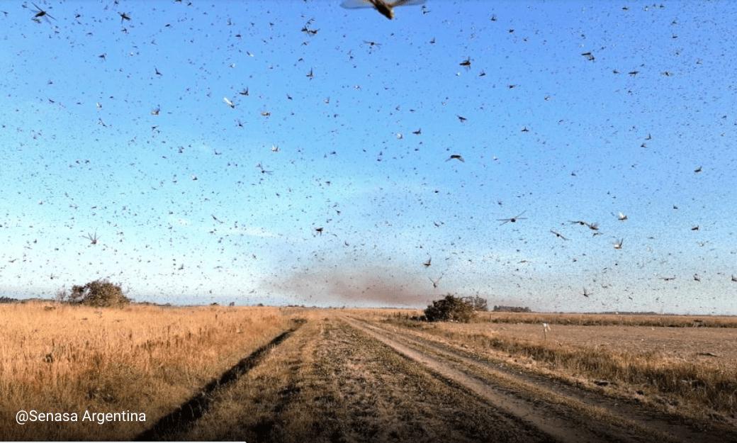 Locuste: invadono (anche) il Sudamerica oltre India, Kenya e Sardegna