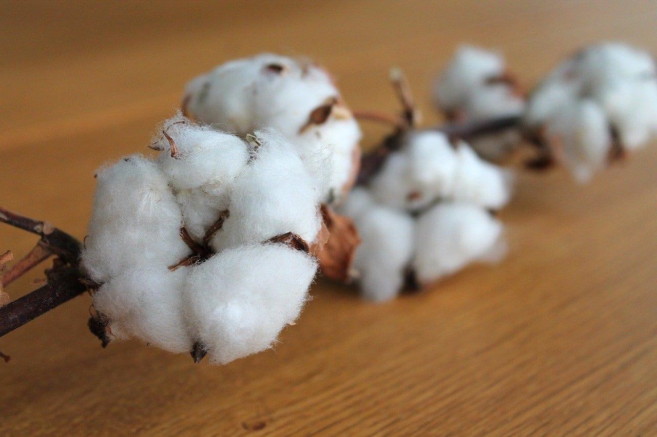 Cotone di nuova generazione: una fibra naturale colorata senza additivi chimici