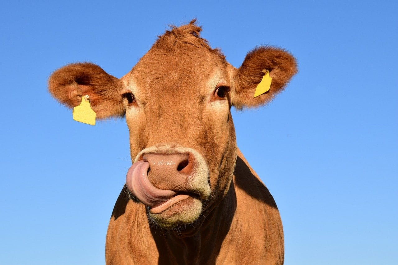 Flautulenze delle mucche: ridurle è importante per combattere il riscaldamento globale