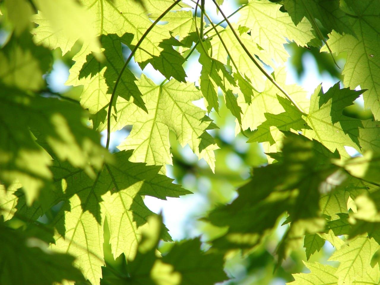 Perché le piante sono verdi? Devono proteggersi da repentini cambi di luce, ma c'è di più...