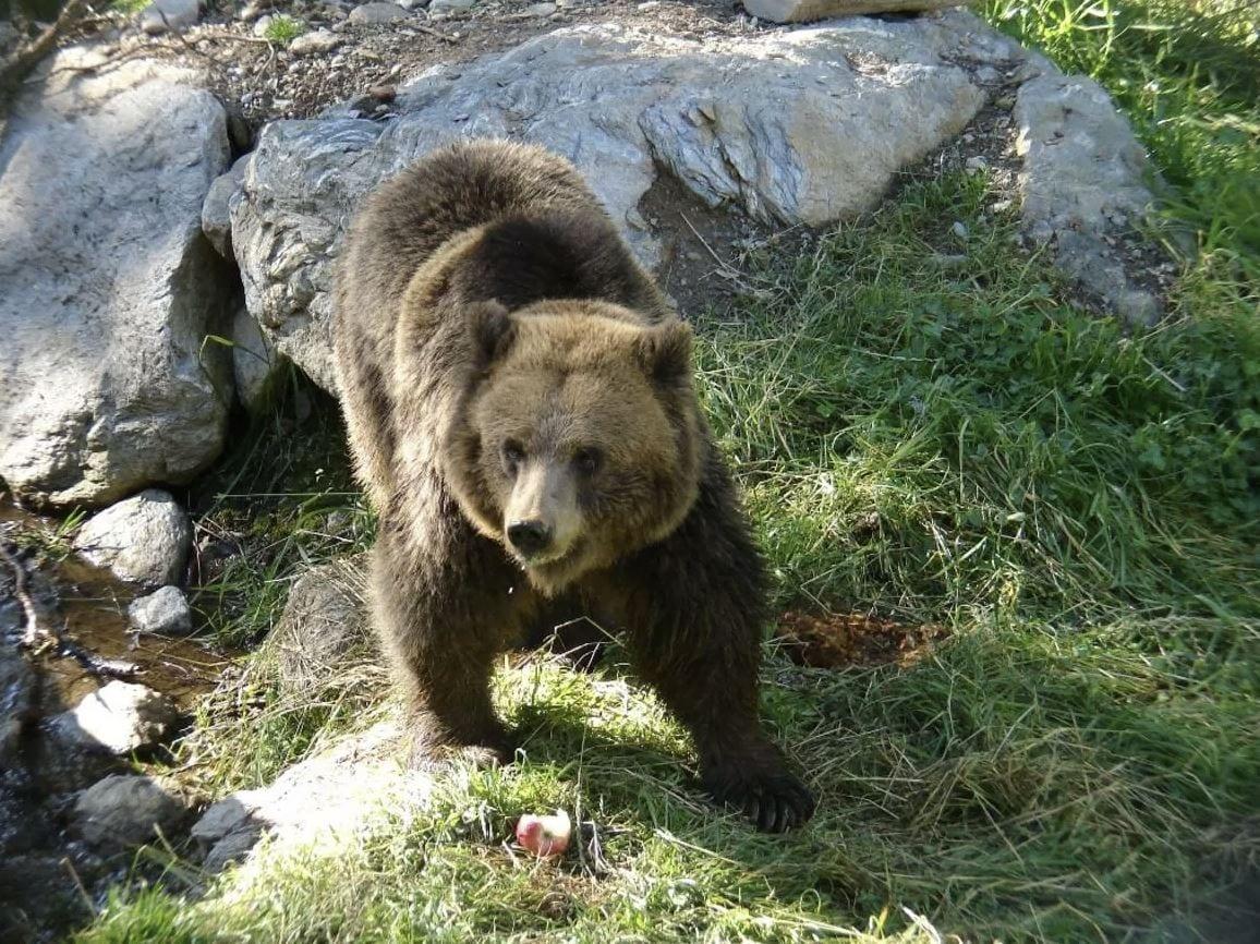 """Trentino, una petizione per """"graziare"""" l'orso che aggredì la famiglia di escursionisti"""