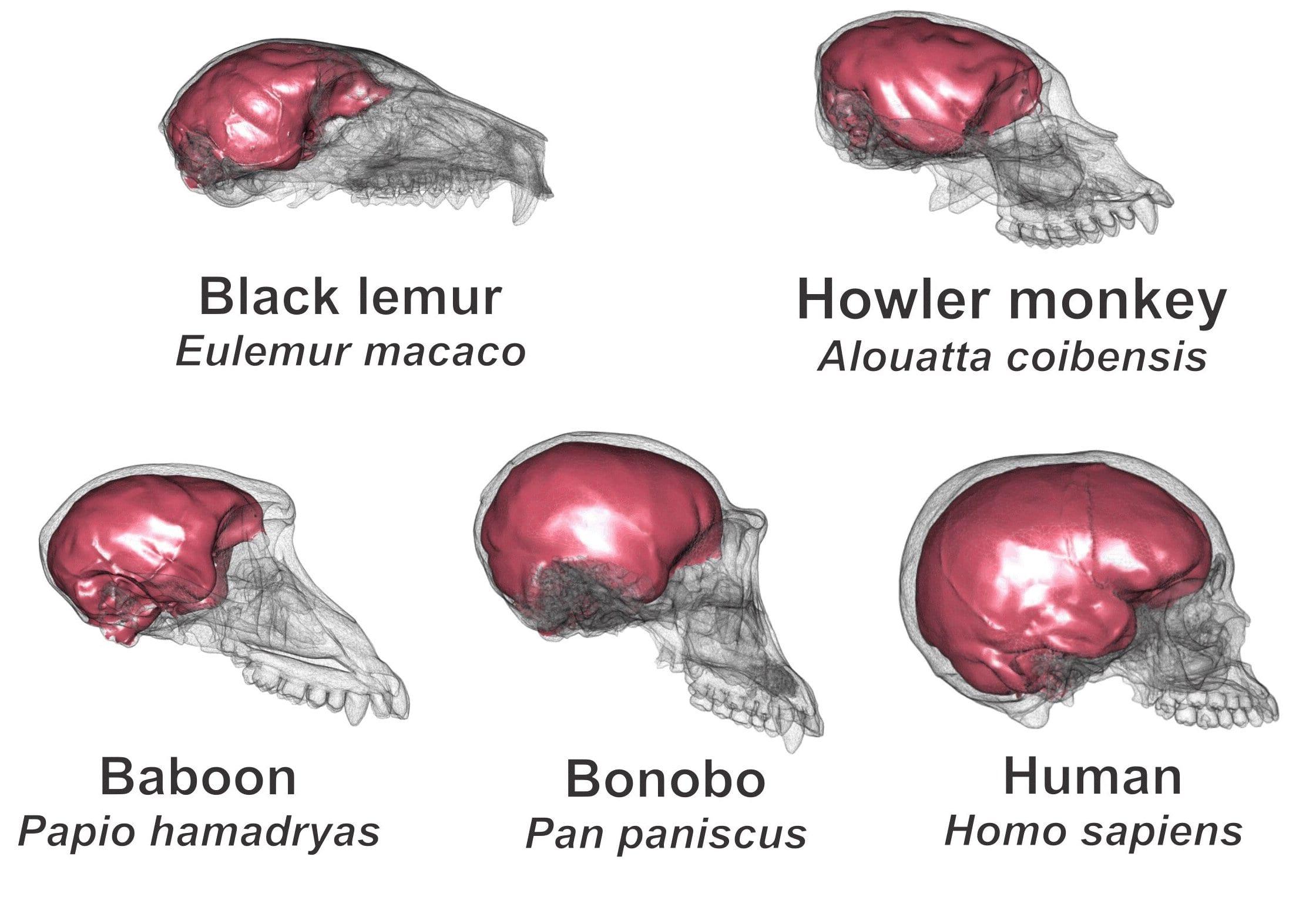 Cervello: massa e forma le caratteristiche principali che hanno contribuito all'evoluzione dell'uomo