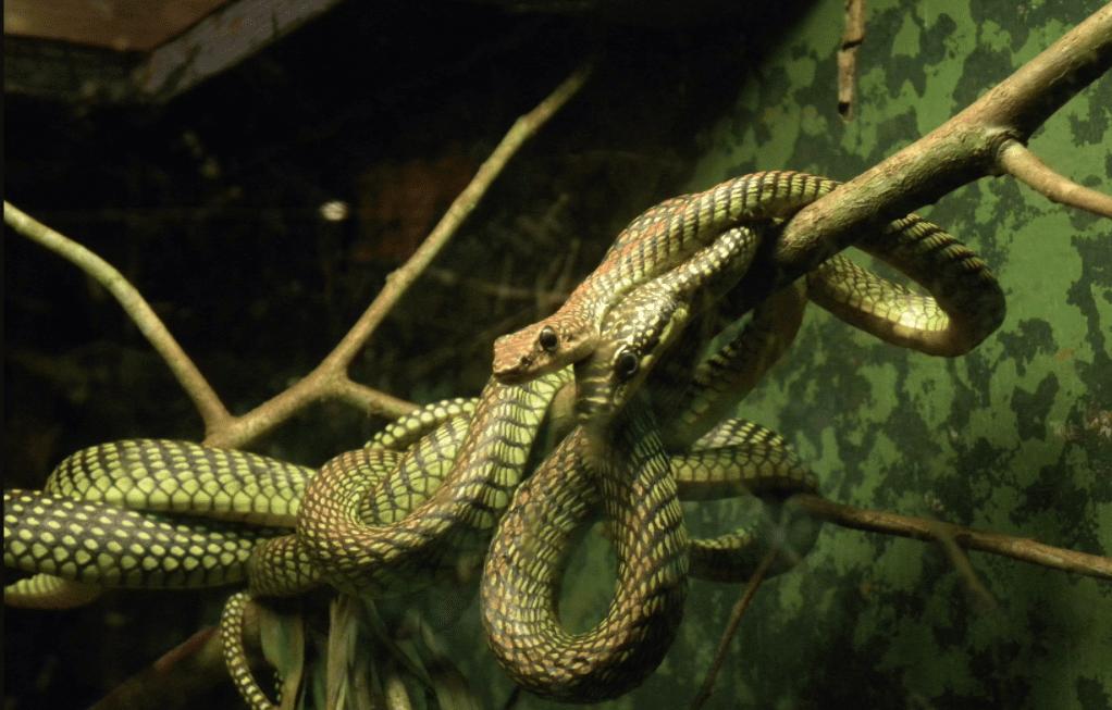 Serpente volante del paradiso: spiegati i suoi incredibili voli tra gli alberi