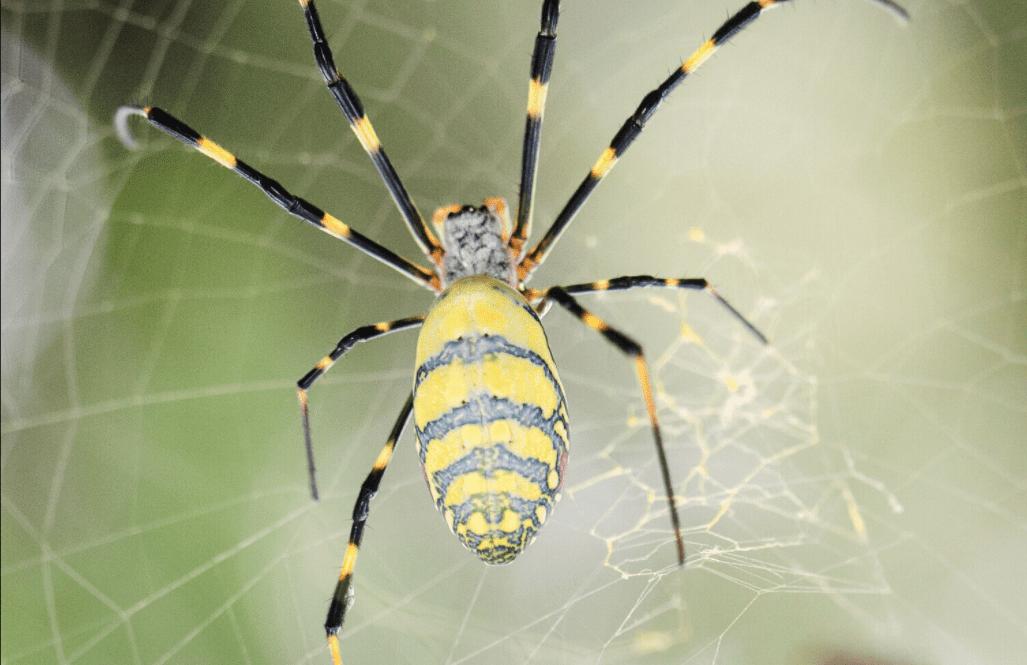 Seta di ragno prodotta da batteri fotosintetici