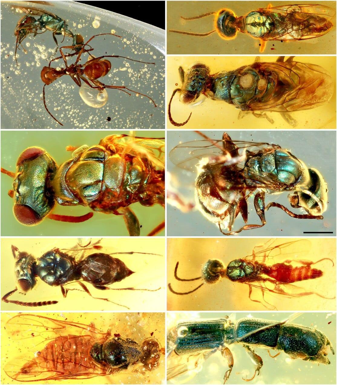 Insetti fossili del Cretaceo: i loro colori preservati dall'ambra