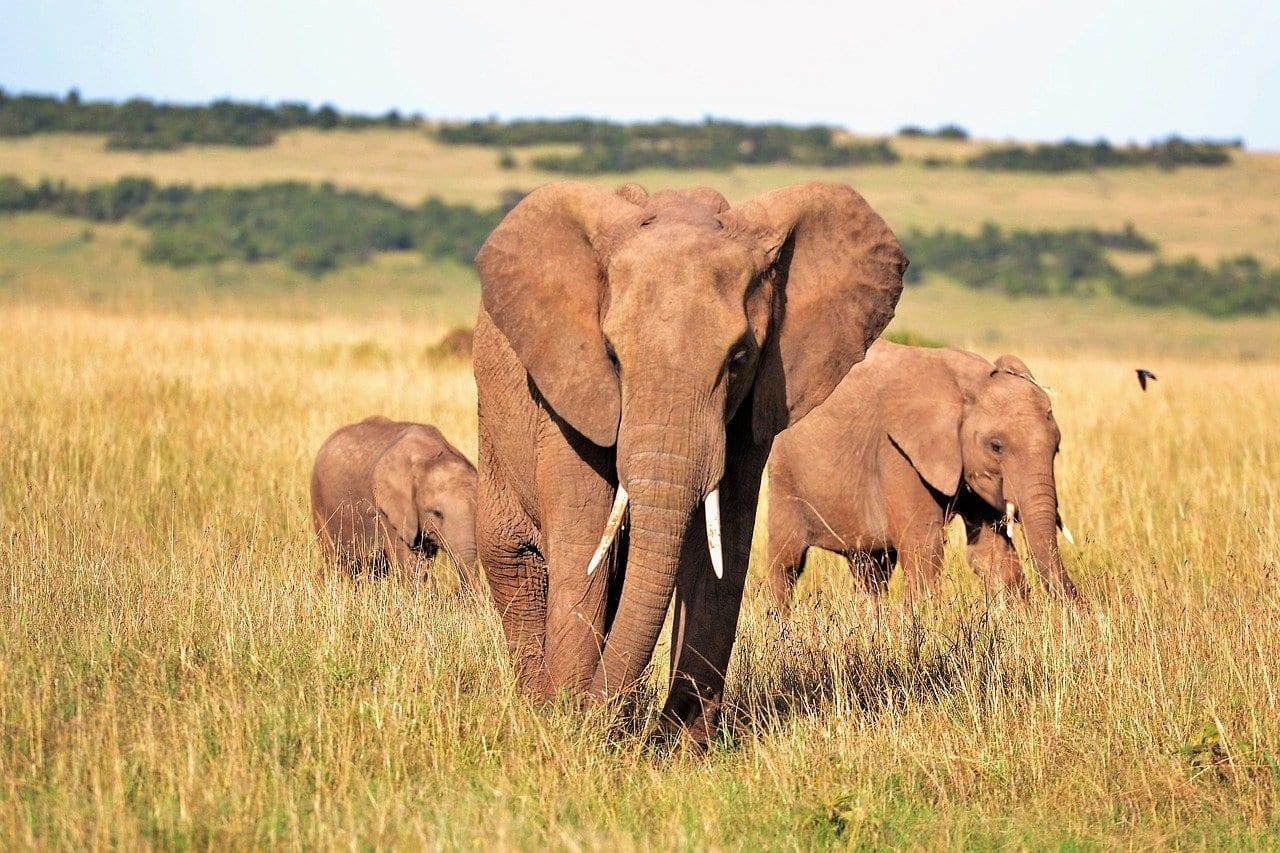 Centinaia di elefanti stanno morendo in Africa e non si sa (ancora) perché