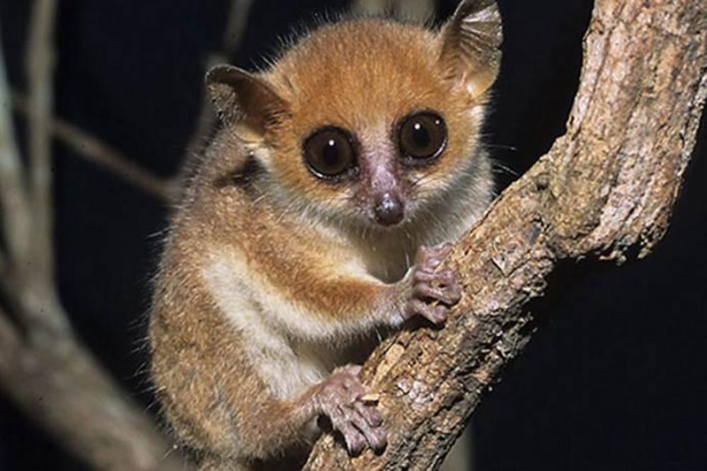 Lemuri topi: scoperta una nuova specie in Madagascar