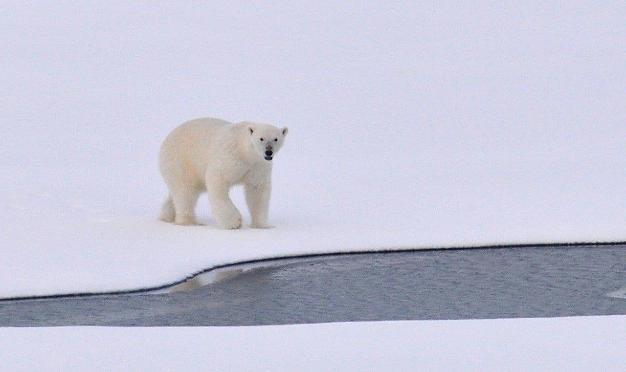 Orsi Polari: potrebbero estinguersi entro la fine di questo secolo