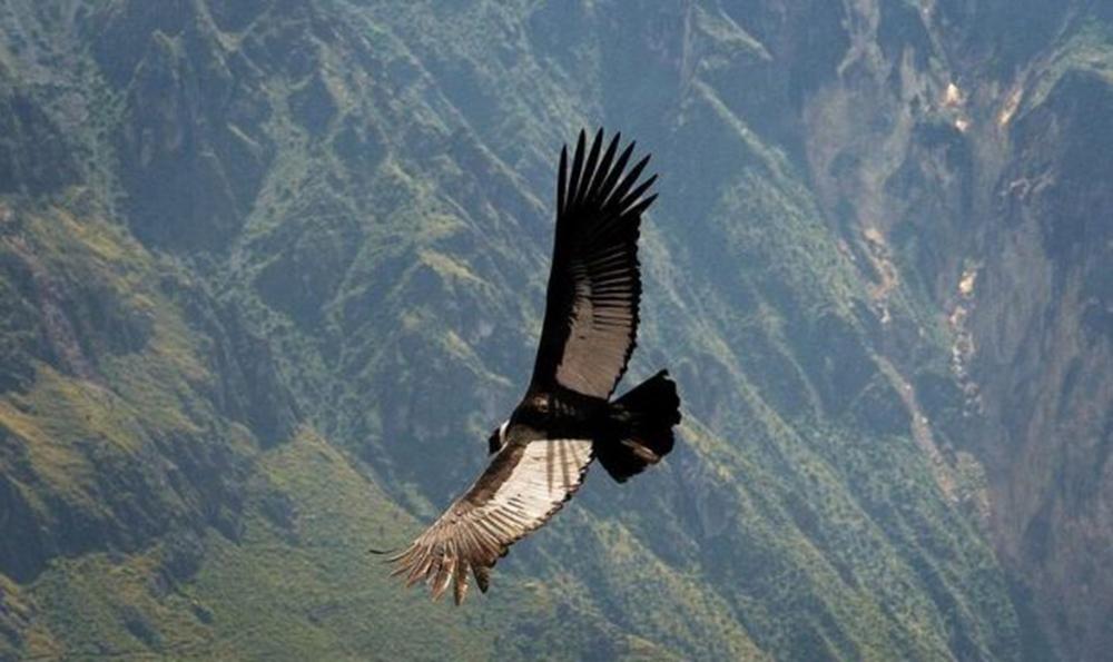 Condor Andino: riesce a volare per 160 km senza mai sbattere le ali