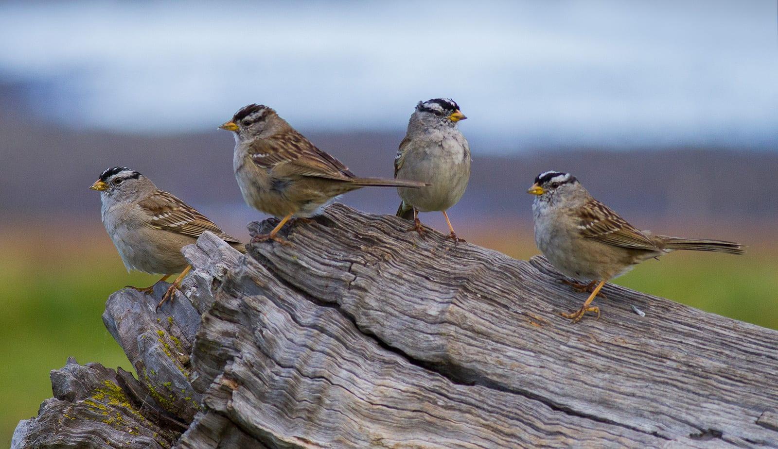 Inquinamento acustico, nella San Francisco del lockdown gli uccelli cantavano meglio