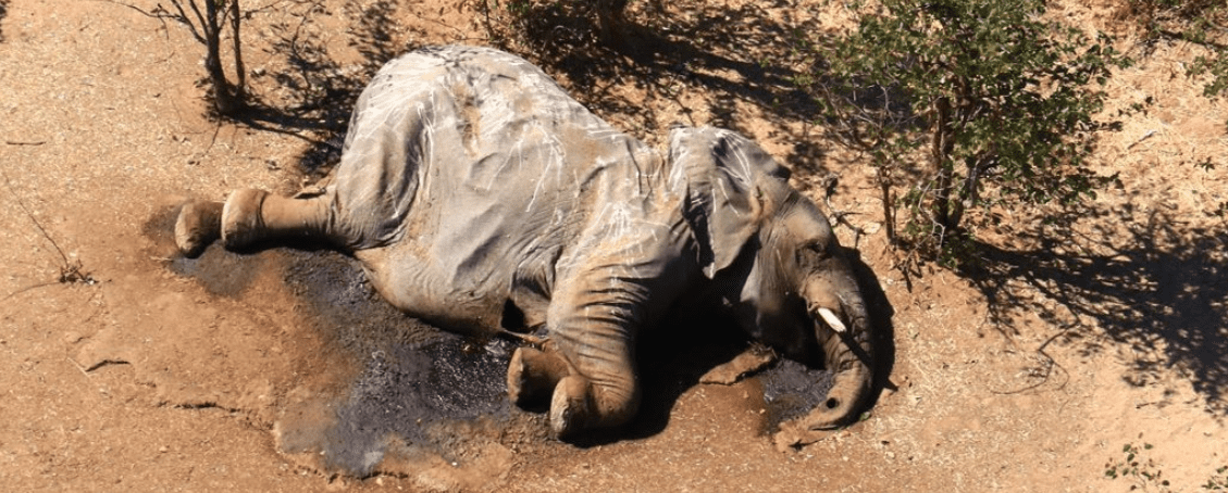 Elefanti: la recente strage è colpa dei cianobatteri