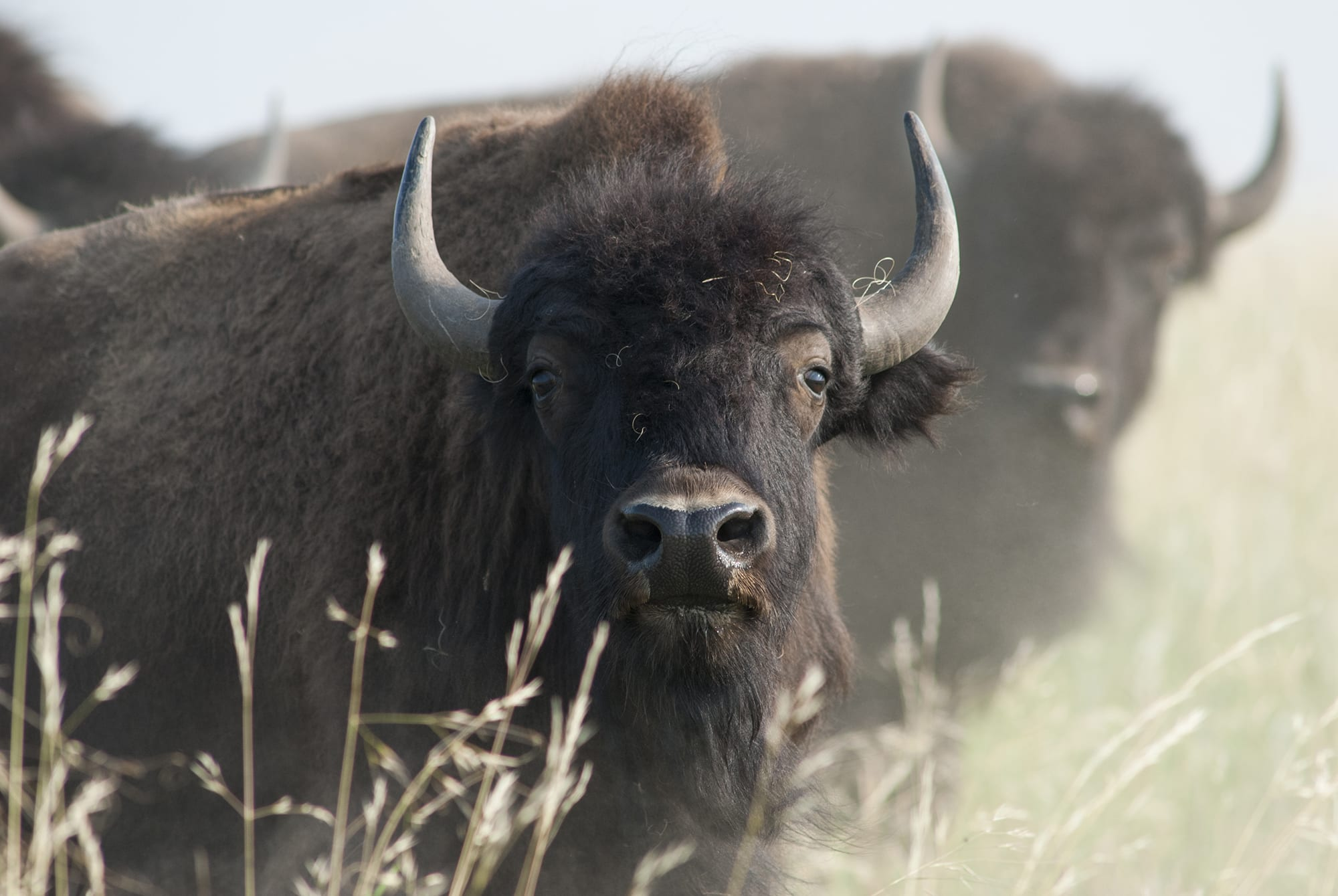 Tatanka: il Bisonte americano