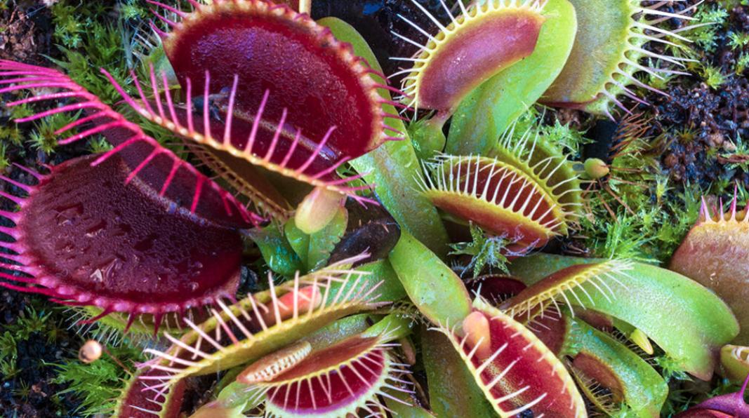Piante carnivore: come funziona la loro memoria a breve termine