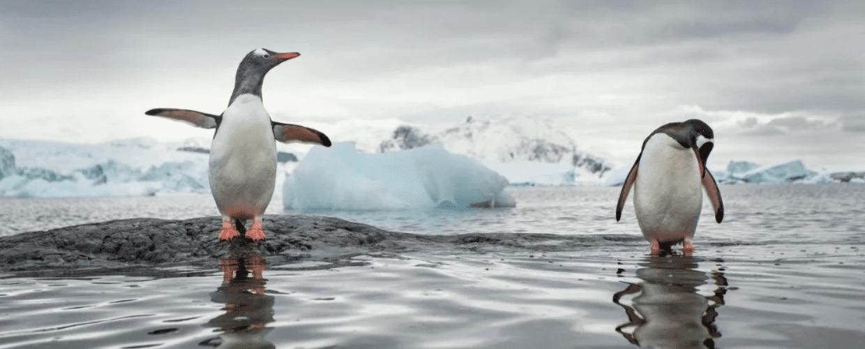 Pinguini Papua: individuate quattro diverse specie
