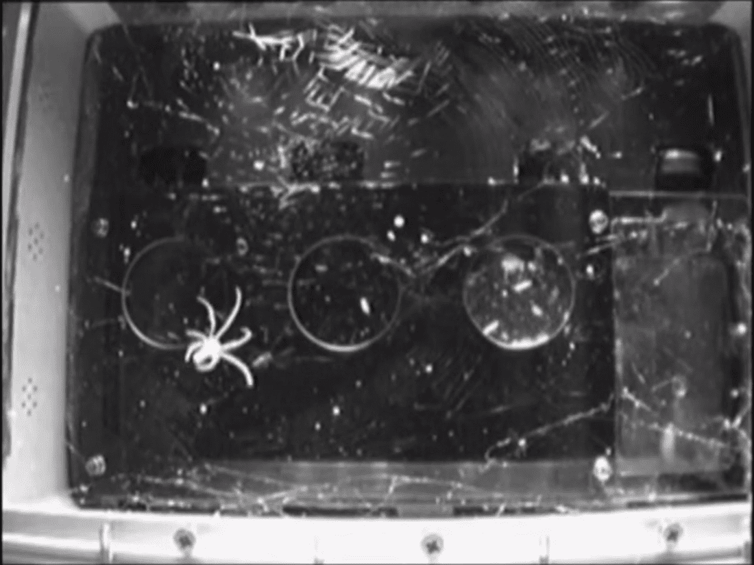 Ragni: come costruiscono ragnatele in assenza di gravità