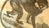 Scimmie Cercopithecus: le femmine attirano i maschi per scacciare i predatori