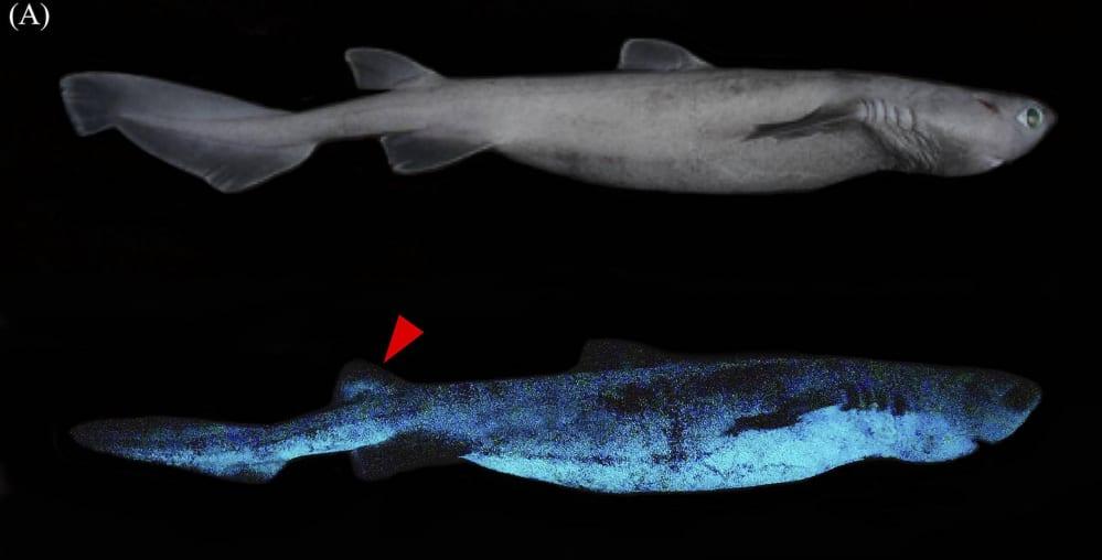 squali luminosi