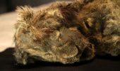 Siberia: trovato un cucciolo di leone dopo 28.000 anni nel permafrost